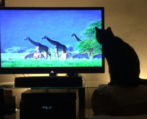 Flickr.com_JKehoe_Photos. Cat_watching_NatureShow_0188a